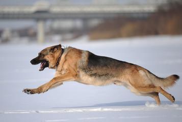 Собака породы немецкая овчарка бежит по снежному полю