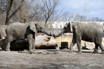 two elephants love in zoo