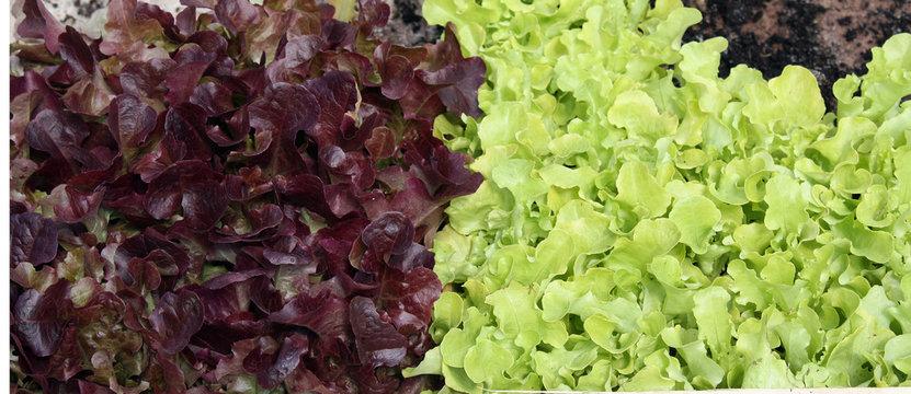 Salade à repiquer