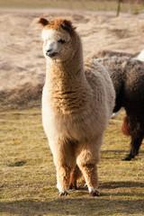 Young alpaca male