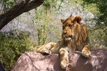 Single Male Lion On Large Rock