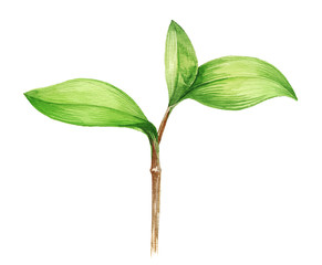 Watercolor illustration of young plant on white