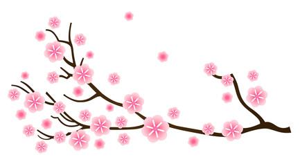 Sakura cherry blossom in spring isolated on white