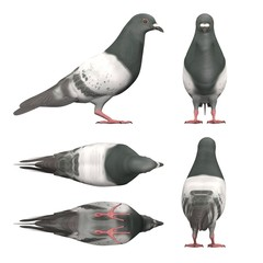 3d render of pigeon bird