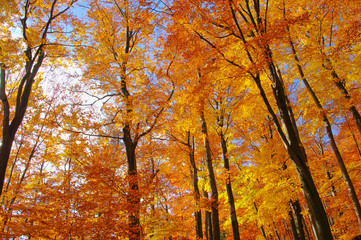 Buchenwald im Herbst - beech forest in fall 35