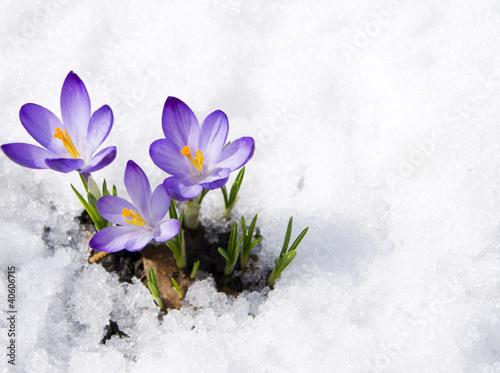 подснежники снег цветы загрузить