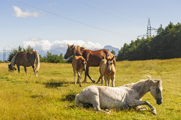 Horses at pasture on the Appennino