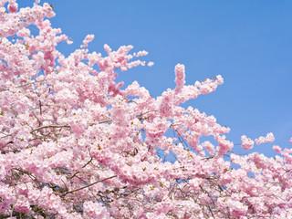 Wall Mural - rosa Blüten als Hintergrund