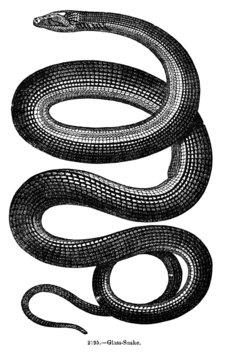 Vintage Snake Engraving