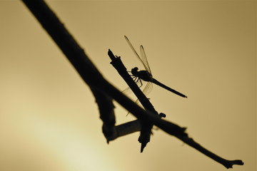 Dragonfly with backlight