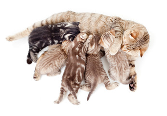 Photo Sur Toile - five kittens brood feeding by mother cat isolated
