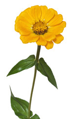 Flower Zinnia isolated