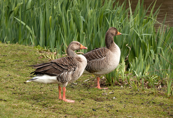 Pair of greylags starting to think about nesting