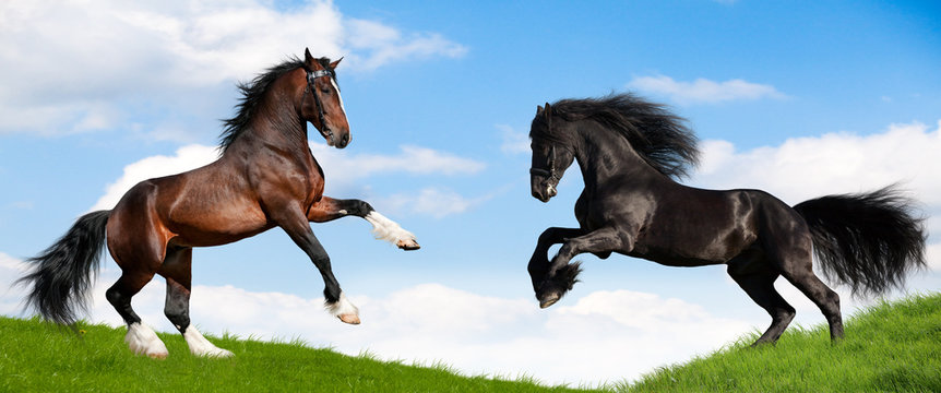 Friesian black and bay Clydesdale horses in field.