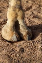 Kamel Hufe