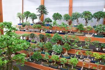 bonsai trees exposition