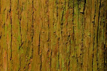 杉の大木の樹皮