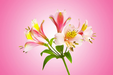 Colourful lilies against gradient background