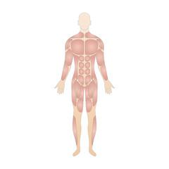 Die Muskeln des menschlichen Körpers