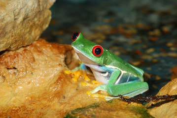 Fototapete - smilling red-eye frog in nature