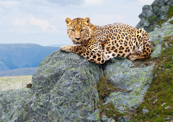 leopard  at wildness area