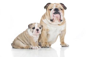 English bulldog puppy with adult bulldog isolated