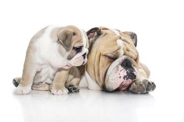 English bulldog puppy and adult bulldog isolated