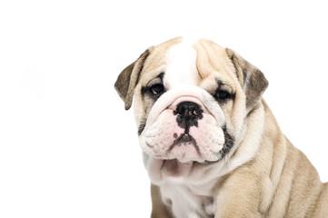 English bulldog puppy isolated