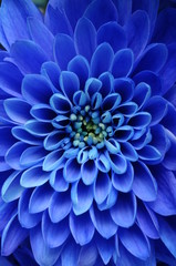 Poster Macro Close up of blue flower : aster with blue petals
