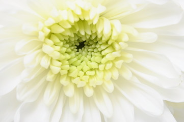 Poster de jardin Macro Close up of white flower : aster with white petals