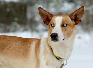 Big-ear-dog