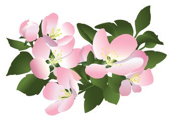flowers of apple tree - vector