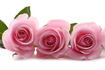 beautiful three pink roses on white