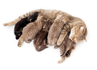 Papier Peint - five kittens brood feeding by mother cat isolated