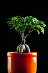 Ficus tree in flower pot over dark background
