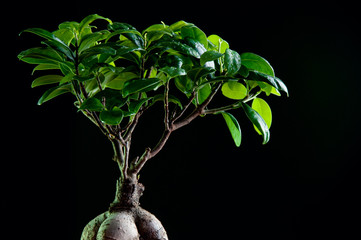 Close-up of ficus retusa with decorative roots, black background