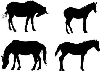 four black horses isolated on white
