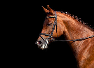 Chestnut horse dressage isolated on black background