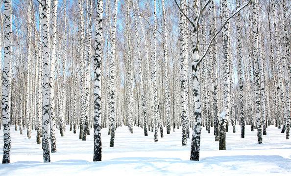 April blue sky in beautiful birch grove