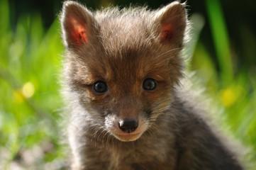 Red fox cub face