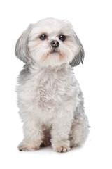 Little boomer dog