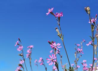 fiori rosa al sole con cielo