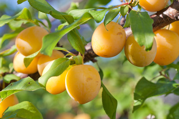 Yellow Cherry Plums  on the branch