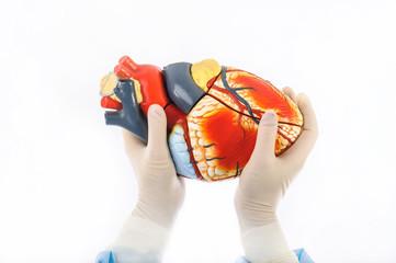 model of human heart