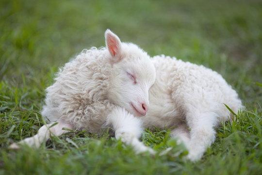 sleepy sheepy