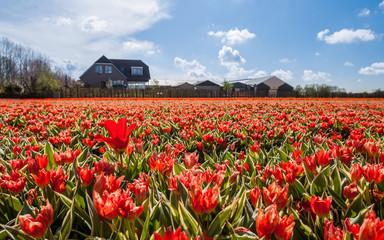 Canvas Prints Poppy Hollandse Tulips