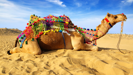 Camel laying on sand, Bikaner, India