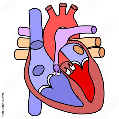 Menschliches Herz - schematisch Vektor\