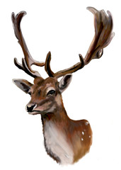 Fallow deer on a white background