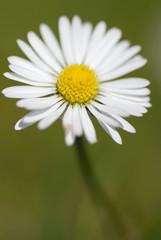 Macro Photo of Daisy In-Situ